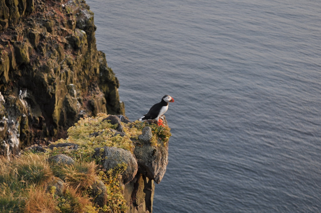 Låtrabjarg, the westernmost point in Europe, and home to well over a million seabirds, including a host of precocious Puffins.